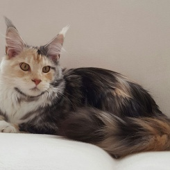 america-maine-coon