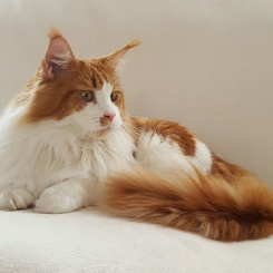 sigvard-maine-coon