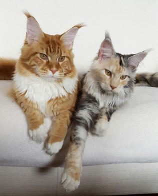 coppia-maine-coon