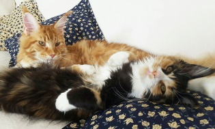 maine-coon-coppia